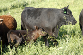 Anderson Cattle
