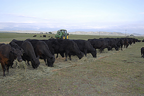 Henthorne Cattle eating