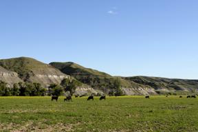 Salisbury Cattle pasture