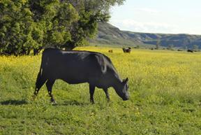 Salisbury Cattle
