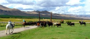 Working cows on the Alderspring Ranch